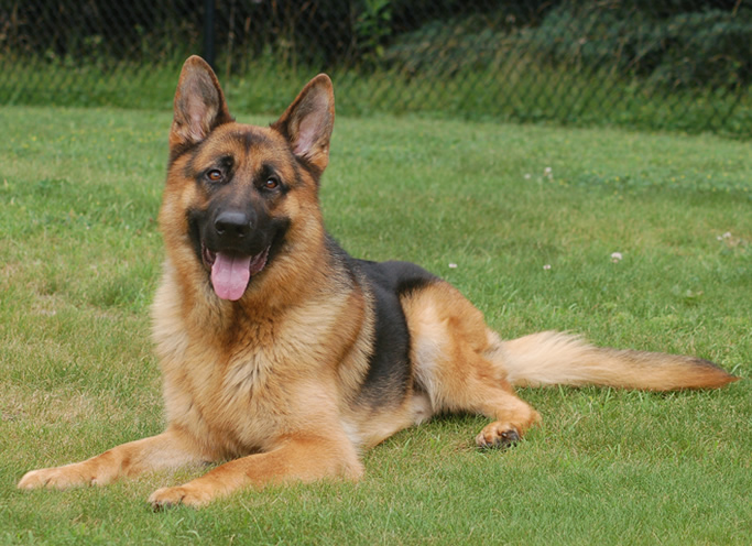 Personal Protection Dogs In Ontario Canada