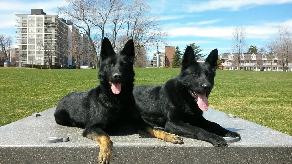 Trained German Shepherds for sale, By CC Protection Dogs