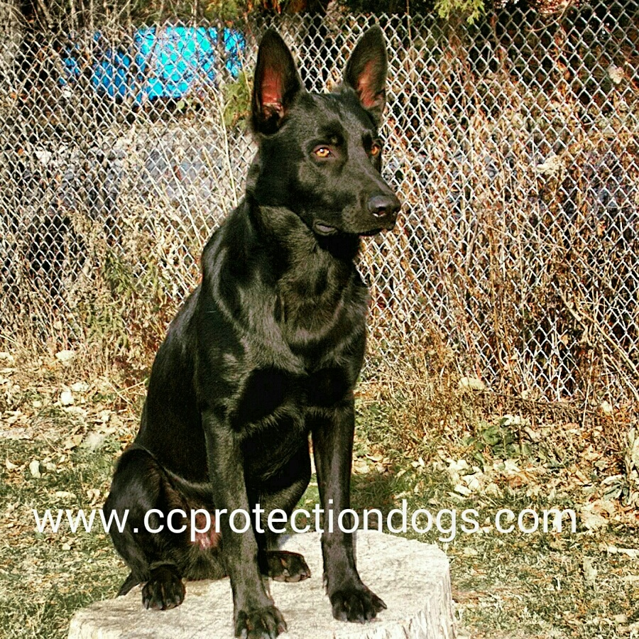 CC Protection Dogs, Dutch Shepherd