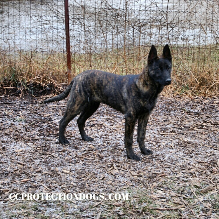 Dutch Shepherd Protection Dogs by CCPD