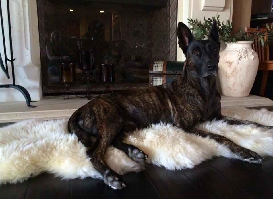 Dutch Shepherd  Protection Dog, Boy.