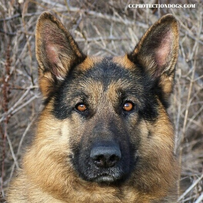 German Shepherd Protection Dog , Rocky