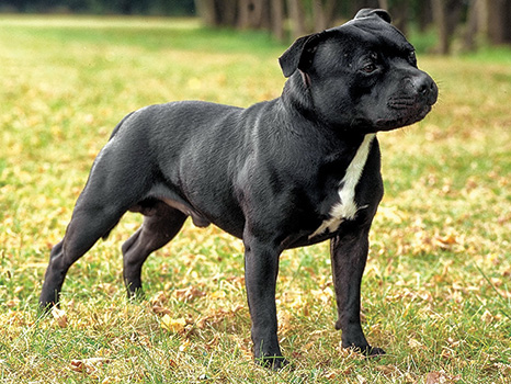 Staffordshire BullTterrier Blog post by CCPD