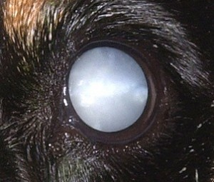 cataract , Protection Dogs