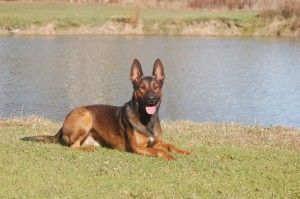 Belgian Malinois, Protection Dogs, Broson. down