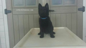 Male German Shepherd Family Protection Puppy by CCPD