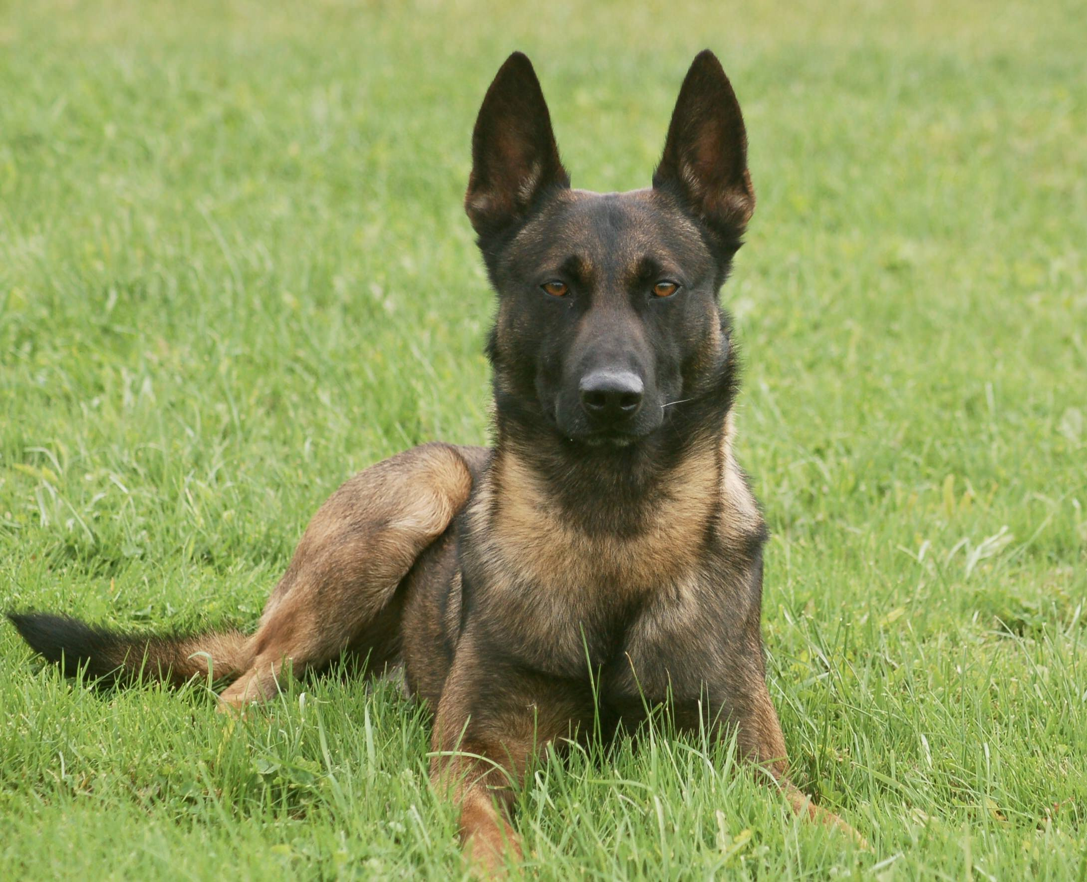 Belgian Malinois Protection Dog